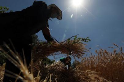 بعد موسم أمطار.. نحو نصف مليون طن من القمح و145 مليار دينار للفلاحين